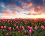 images3M193WB0 SUNRISE - PINK FLOWERS IN A FIELD