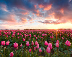 Images3M193WB0 SUNRISE PINK FLOWERS IN A FIELD
