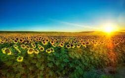 imagesDJTOUM0Q - SUNRISE -FIELD OF FLOWERS
