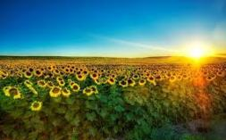 imagesDJTOUM0Q - SUNRISE -FIELD OF FLOWERS