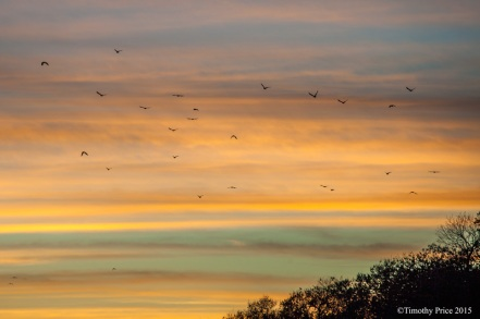 img_3539 - Crows flying into the layers of the sunset - Timothy Price